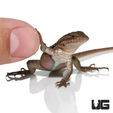 Pink Belly Swift For Sale - Underground Reptiles