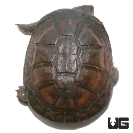 West African Mud Turtle For Sale - Underground Reptiles