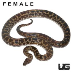 Adult Spotted Python For Sale - Underground Reptiles