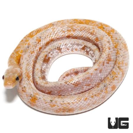 Calico Chinese Beauty Snake For Sale - Underground Reptiles