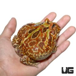 Adult Male Mutant Cranwelli Pacman Frog For Sale - Underground Reptiles