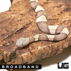 Baby Copperhead Snakes For Sale - Underground Reptiles