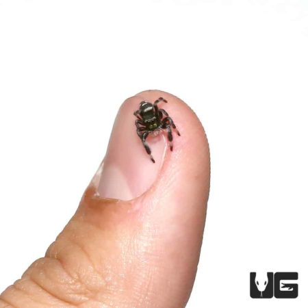Regal Jumping Spiders For Sale - Underground Reptiles