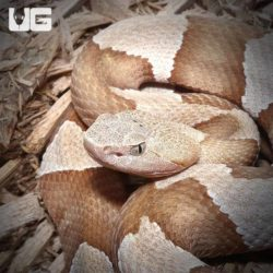 Copperhead Snakes For Sale - Underground Reptiles