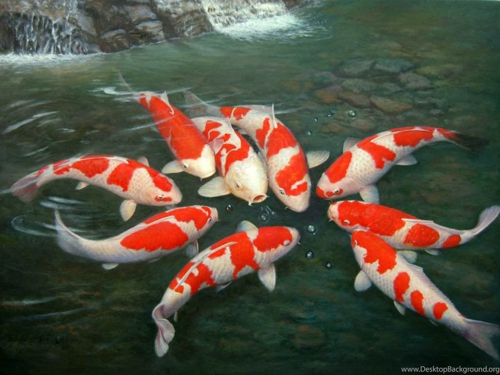 Japanese Koi Fish Wallpaper Desktop