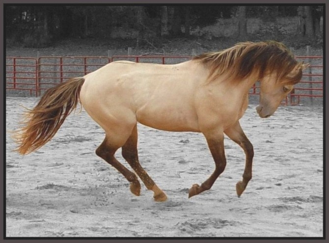 10 Best Sable Horses Images On Pinterest | Beautiful throughout What Color Is Sable