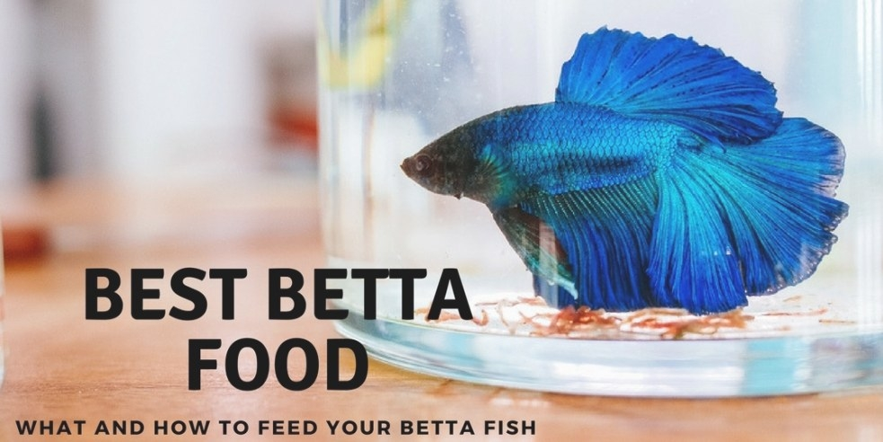 Best Betta Food – What And How To Feed Your Betta Fish in Betta Fish Not Eating