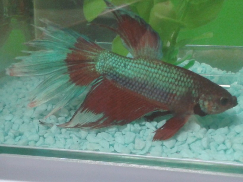 Beta Fish Has Fin Rot And Won'T Eat, What Do I Do?   My within Betta Fish Not Eating