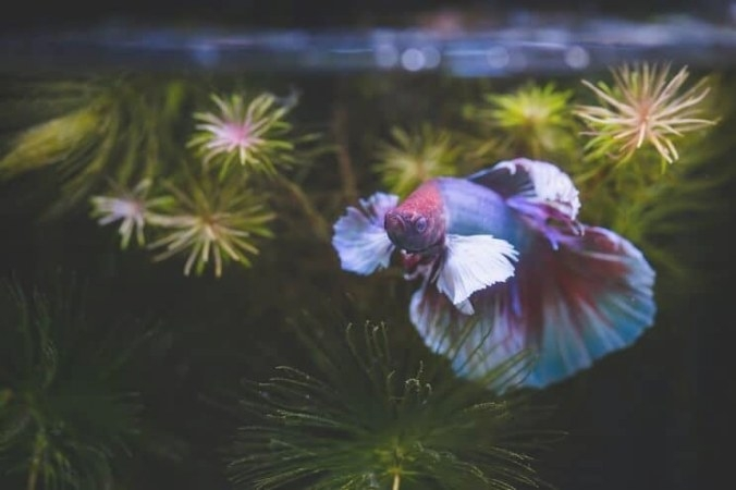 Betta Fish: Care Guide, Lifespan, Facts And Compatibility intended for Betta Fish Not Eating