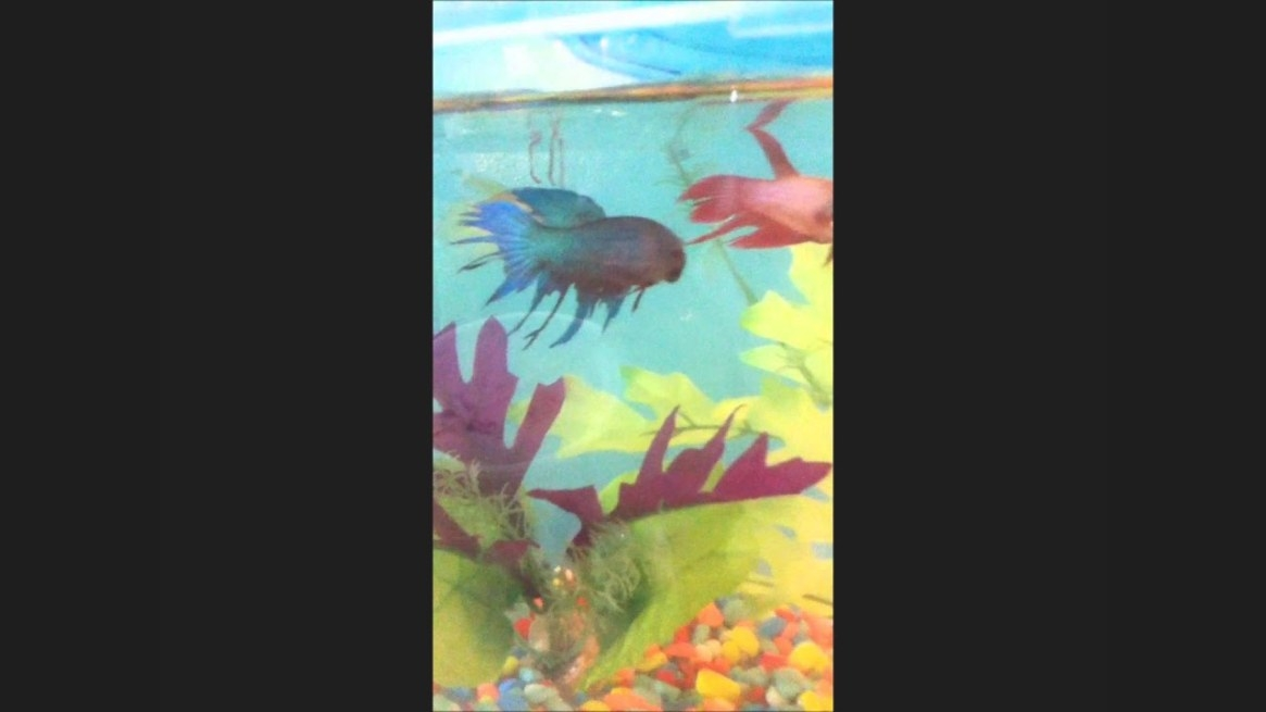 Betta Fish Eating Blood Worms For The First Time - Youtube intended for Betta Fish Not Eating