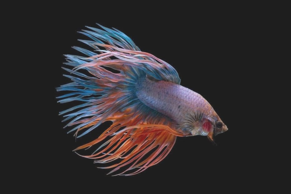 Betta Fish - Everything You Must Know About These Fishes in Betta Fish Not Eating