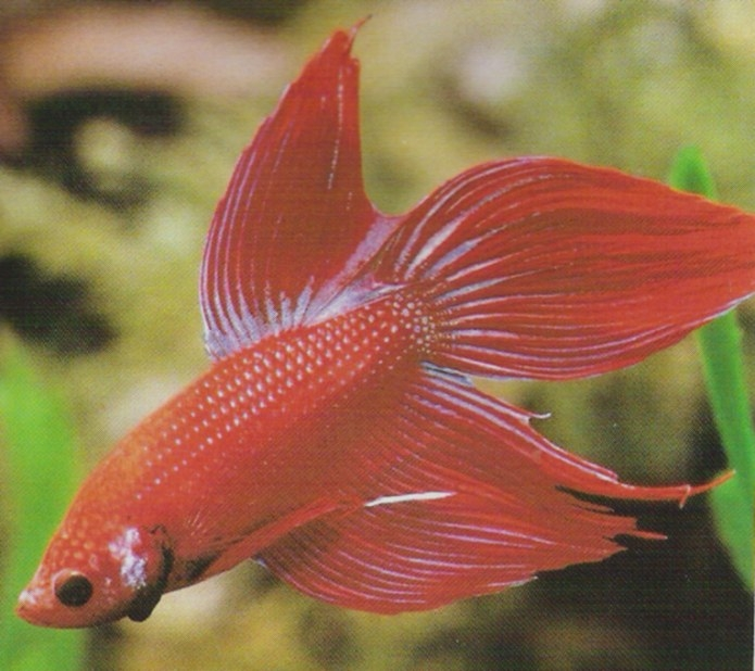 Betta Fish Recommended Care ~ Planetanimalzone within Betta Fish Not Eating