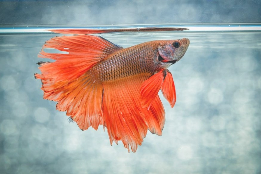 Caring, Feeding And Breeding For Siamese Fighting Fish for Betta Fish Not Eating