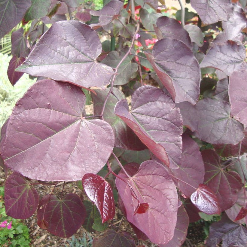 Cercis Ruby Falls Redbud At Wayside Gardens for Tree With Heart Shaped Leaves