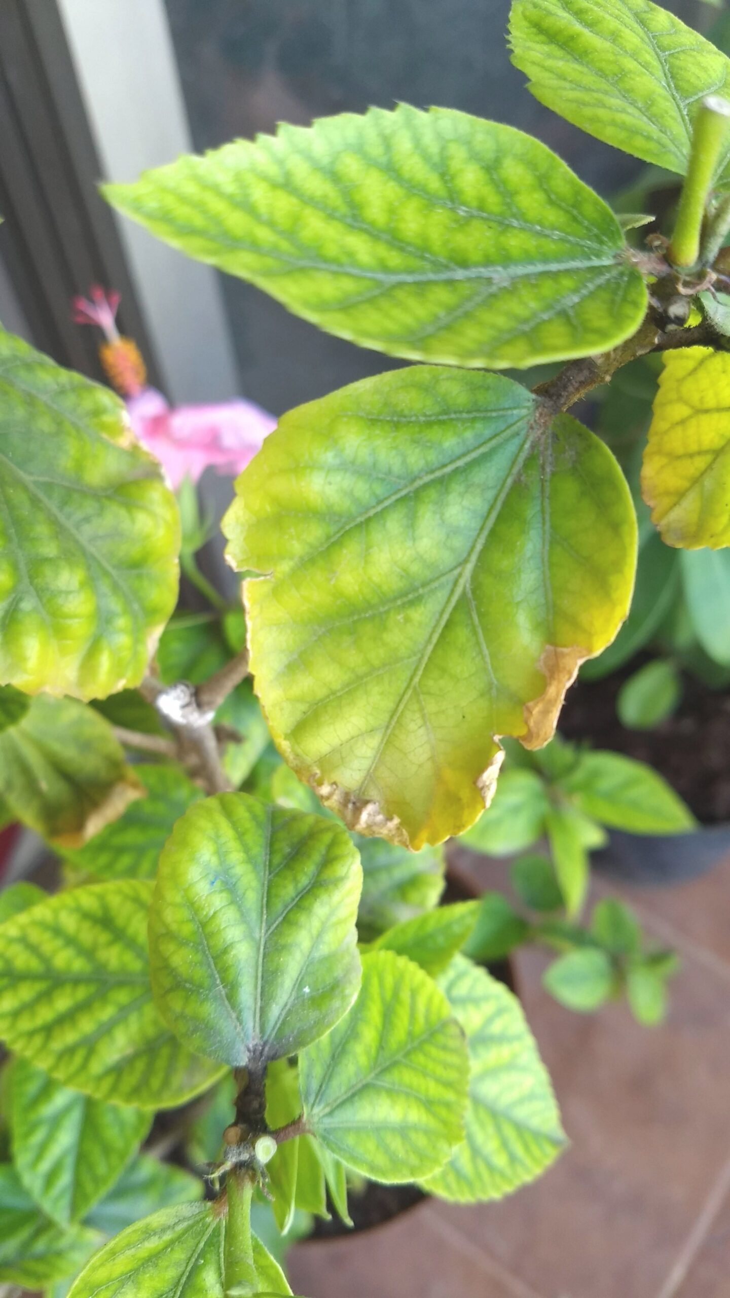 Diagnosis - Hibiscus Problems - Gardening & Landscaping throughout Hibiscus Leaves Turning Yellow
