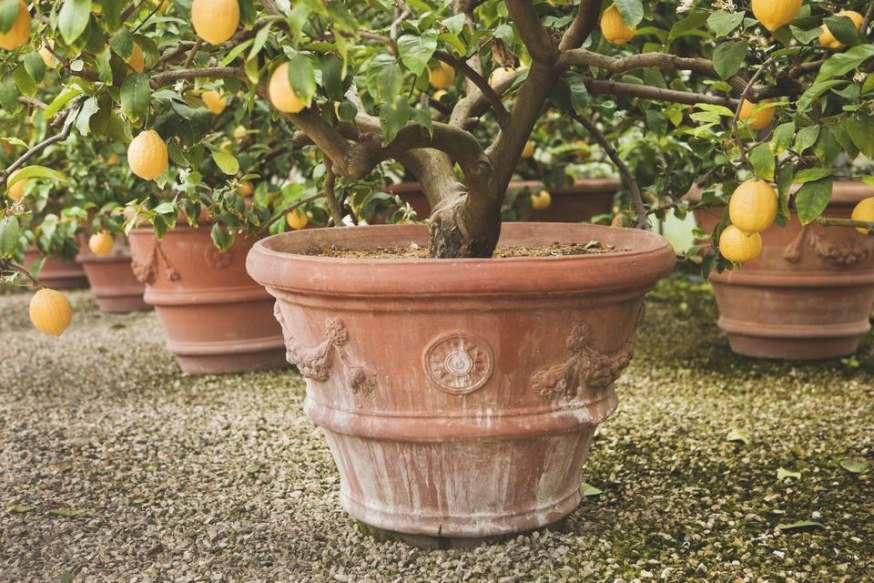 Dwarf Fruit Trees You Can Grow In Any Yard inside Dwarf Fruit Trees For Sale