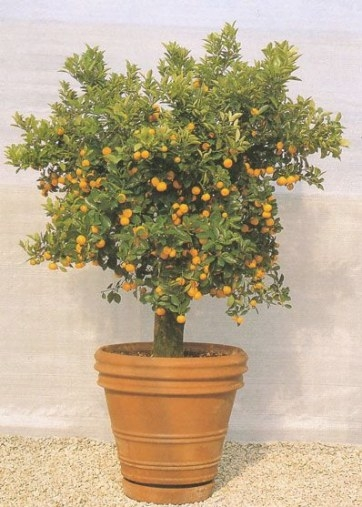 Dwarf Valencia Orange Tree, Potted For Easy Movement throughout Dwarf Fruit Trees For Sale