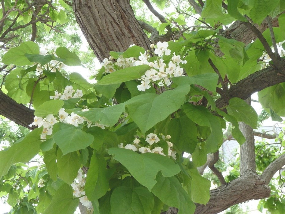 Flowers And Leaves On An Indian Bean-Tree In Frankfurt (P1 regarding Tree With Heart Shaped Leaves
