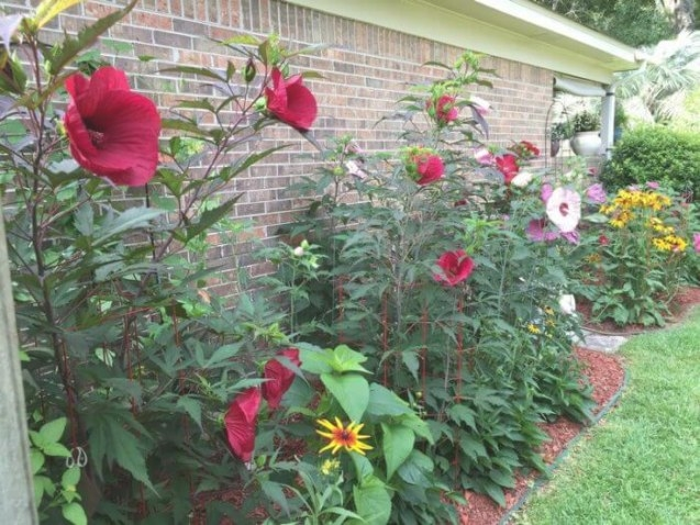 Have You Tried Growing A Hardy Hibiscus? - Lagniappe Mobile inside Hibiscus Leaves Turning Yellow