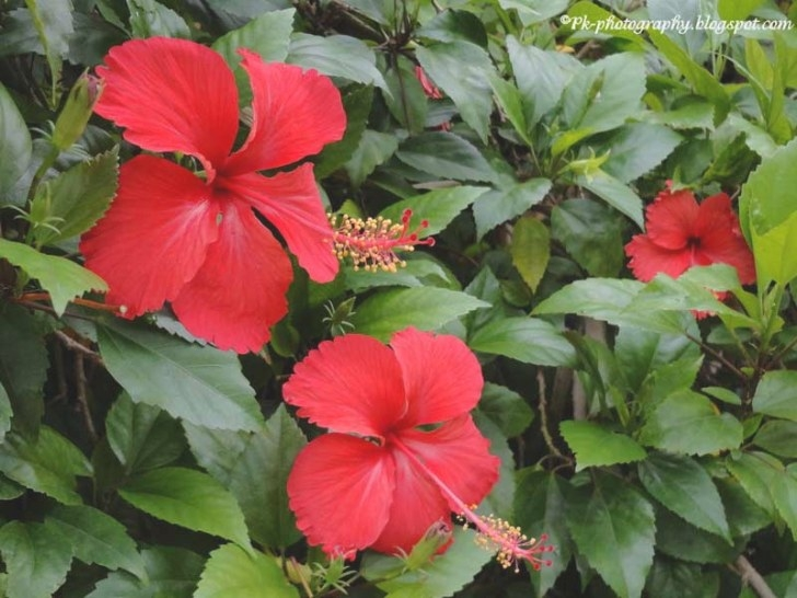 Hibiscus Are Very Beautiful With Yellow And Red - Suck regarding Hibiscus Leaves Turning Yellow
