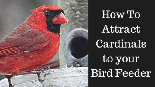 How To Attract Cardinals To Your Bird Feeder - Best Bird in How To Attract Crows