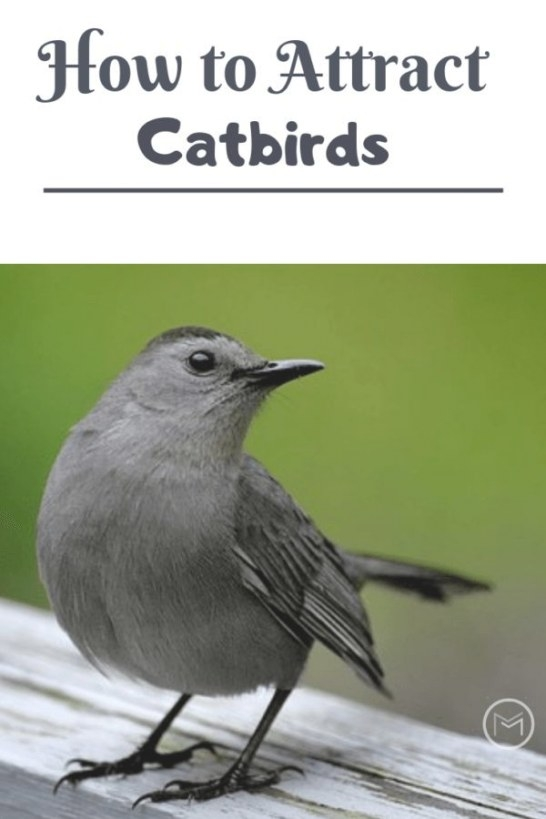How To Attract Catbirds To Your Backyard | Birds, Backyard regarding How To Attract Crows