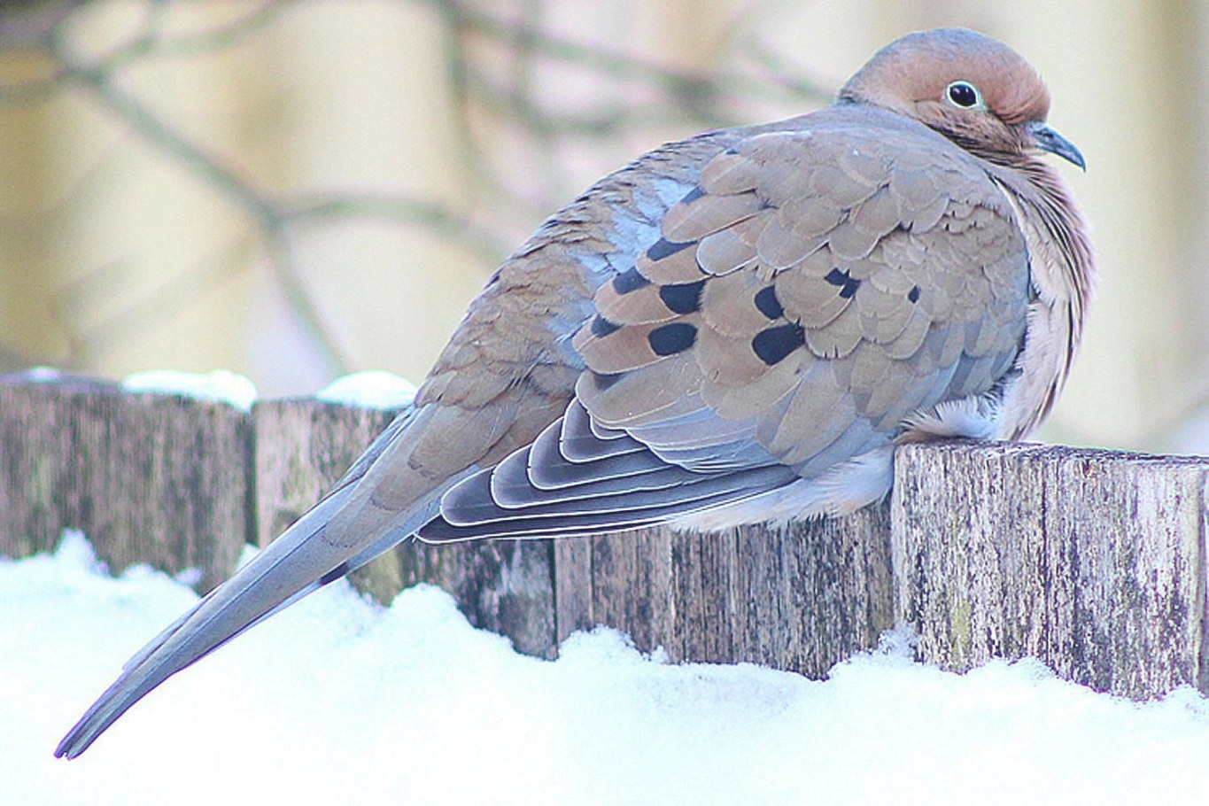 How To Attract Doves - Backyard Birds for How To Attract Crows