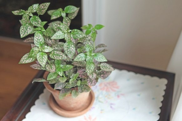 How To Care For A Polka Dot Plant   Hunker with regard to 20-20-20 Fertilizer