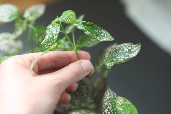 How To Care For A Polka Dot Plant (With Pictures)   Ehow intended for 20-20-20 Fertilizer