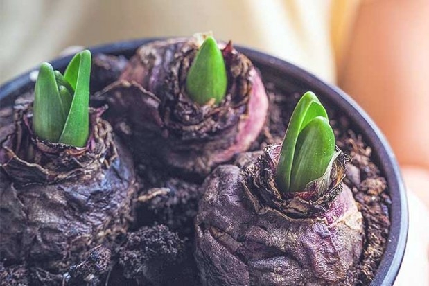 How To Grow Hyacinths For Rich Spring Color And Sweet Perfume for 5-10-5 Fertilizer