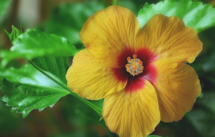 How To Take Care Of A Hibiscus Plant   My Home-Keeping intended for Hibiscus Leaves Turning Yellow