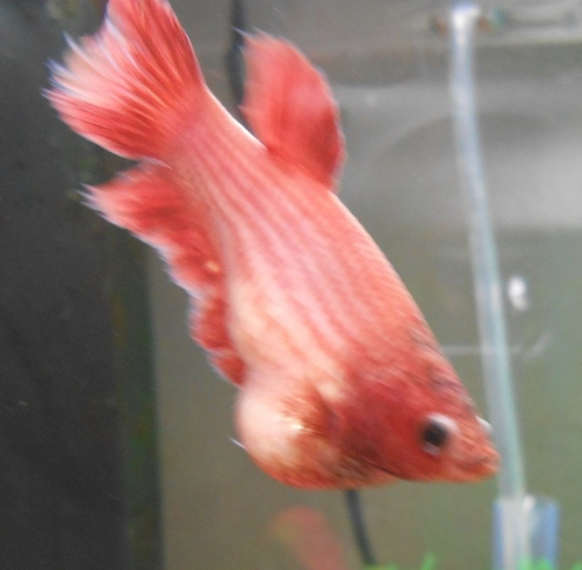 Is This Dropsy Or Is Femal Betta Fish Full Of Eggs? Female for Betta Fish Not Eating