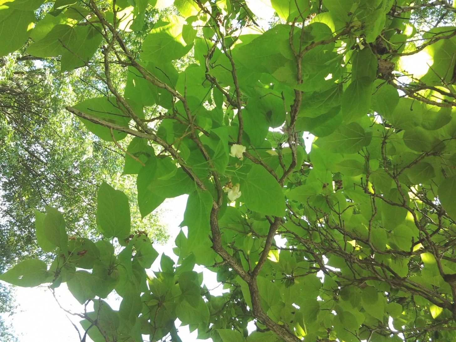 Joe Thacker'S Forest And Rail Blog: Tree Identification 9 regarding Tree With Heart Shaped Leaves