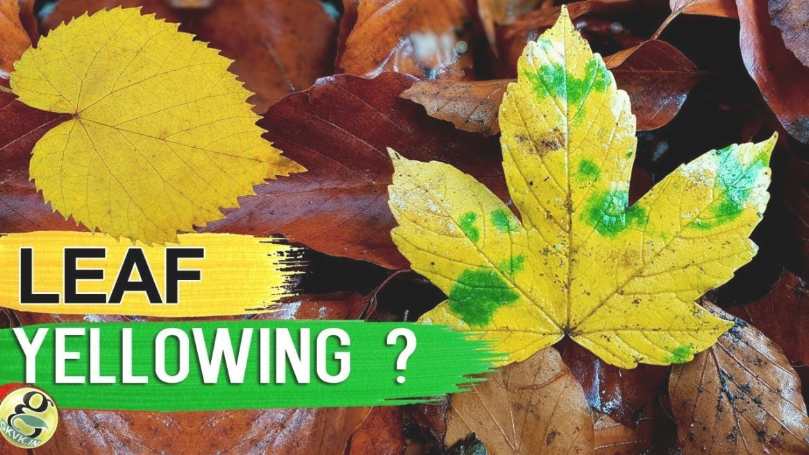 Leaves Turning Yellow? 10 Tips To Fix Plant With Yellow Or regarding Hibiscus Leaves Turning Yellow
