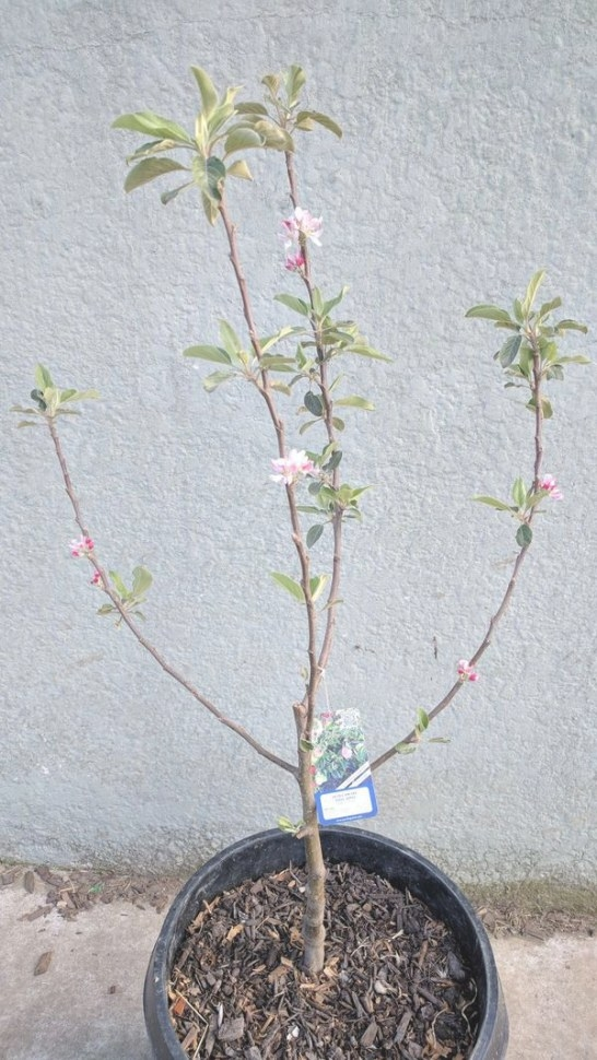 """Organic Ultra Dwarf """"Anna"""" Apple Tree For Sale In Carson with Dwarf Fruit Trees For Sale"""