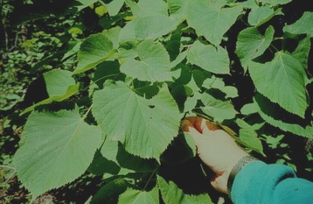Plant Database with Tree With Heart Shaped Leaves