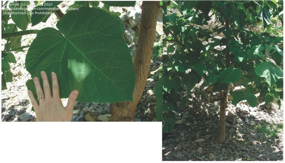 Plant Identification: Closed: Large Heart-Shaped Leaves, 1 pertaining to Tree With Heart Shaped Leaves