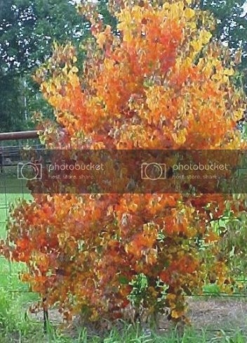 **Small Tree With Flame Colored ,Heart Shaped Leaves in Tree With Heart Shaped Leaves