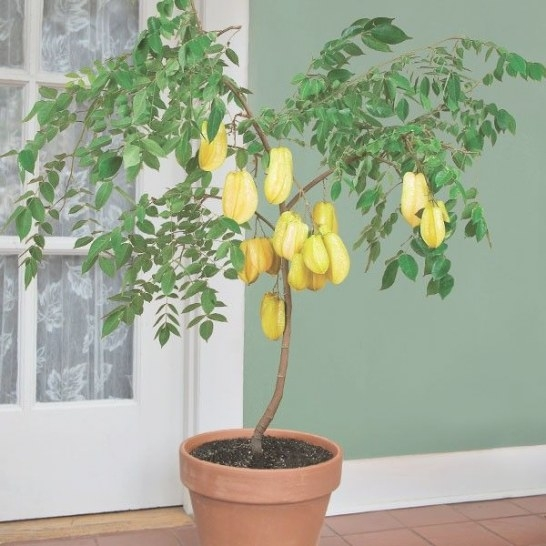 Star Fruit 'Maher Dwarf' (Averrhoa Carambola) This Tree pertaining to Dwarf Fruit Trees For Sale