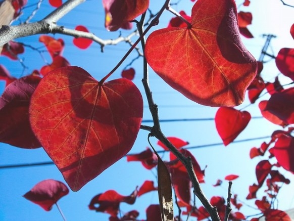 Weekly Photo Contest: Red - Page 4 - Android Forums At in Tree With Heart Shaped Leaves