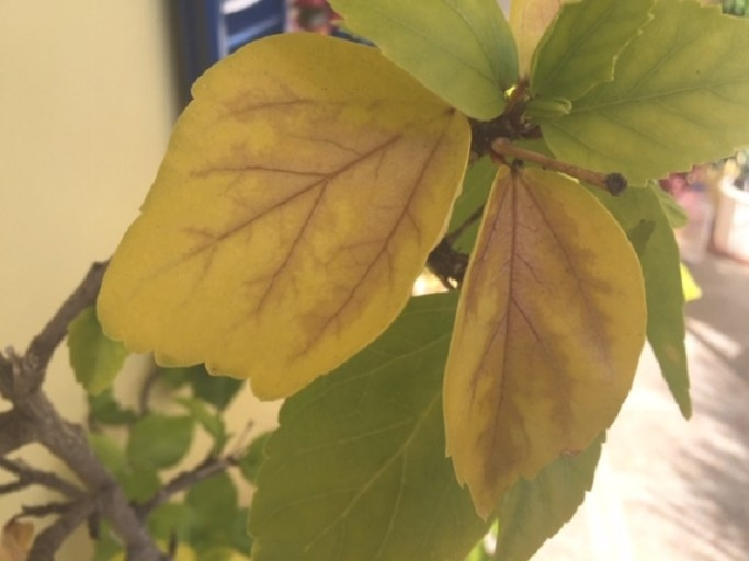 Why Are My Hibiscus Leaves Turning Yellow With Brown for Hibiscus Leaves Turning Yellow