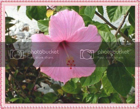 Why Do Leaves Turn Yellow On Hibiscus Plant with Hibiscus Leaves Turning Yellow