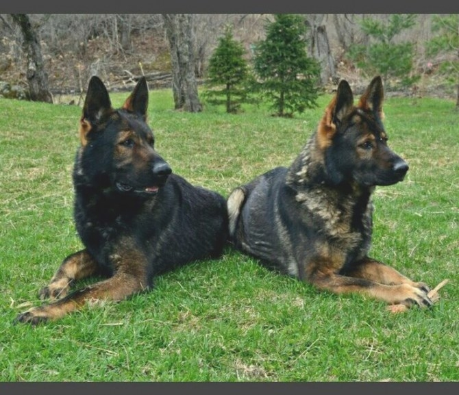 Www.vtgsd Dark Sable German Shepherds. Gorgeous with What Color Is Sable