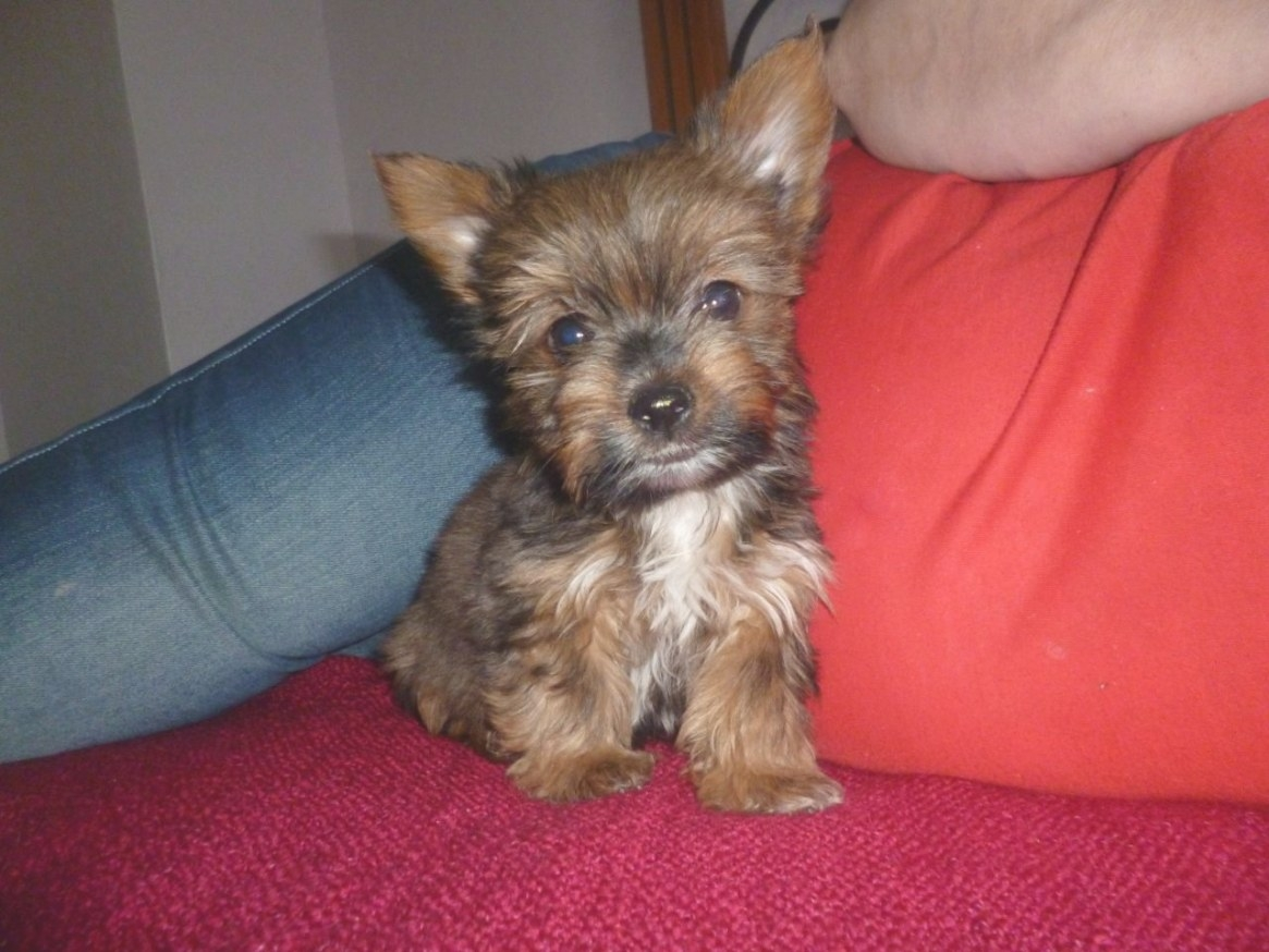 Yorkies Of A Different Color Minni Boy | Sidcup, Kent with regard to What Color Is Sable