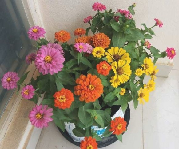 Zinnias : Easiest Flowers To Grow For Beginners | Blog for 5-10-5 Fertilizer