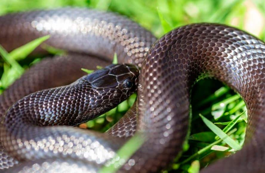 Snake Diet – Everything You Want to Know : Top 2 Benefits and Incredible Effects