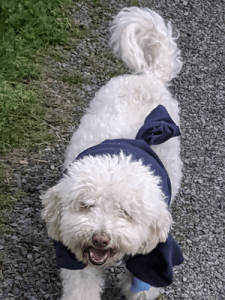 Charlie The Bichon Frise (13 years old)