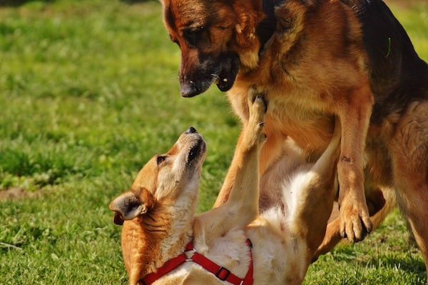Dogs Fighting