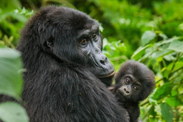 Gorillas & Wildlife Reserves Safari Package