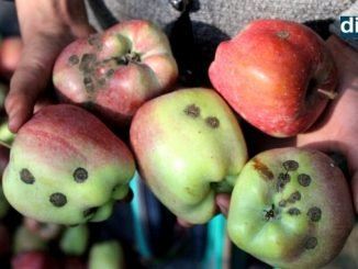 Coronavirus and unendurable weather ruin Kashmir's apple crop - Kashmir News - DilPaziir - Digpu